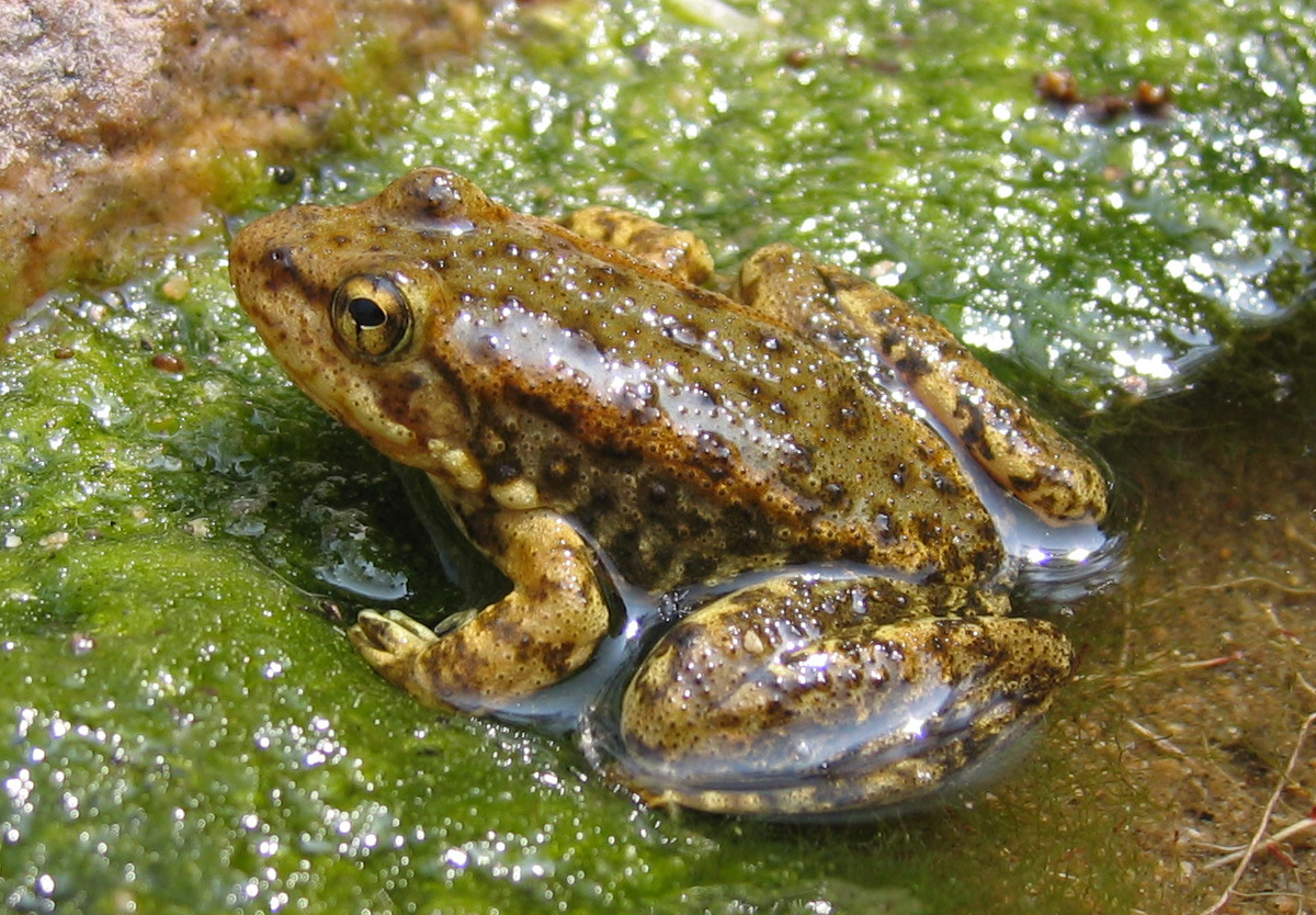 a discussion on the decline in frog population Study confirms us amphibian populations declining at rapid rate the rate of decline in amphibian occupancy in the united states share this story.