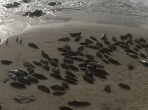 Harbor Seals Sleep-in on New Year's Day, Carpinteria Beach