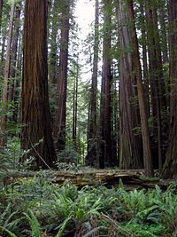 Rockefeller, not just a redwood grove but a redwood forest in Humboldt Redwoods State Park (courtesy CDPR)