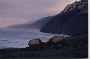 Roosevelt elk roam the Lost Coast in Sinkyone Wilderness State Park.