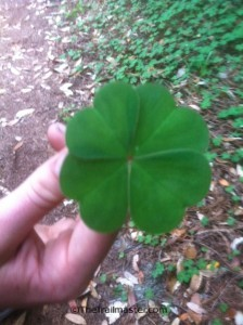 A rare four-leaf redwood sorrel; more typically is has three shamrock-shaped leaves.