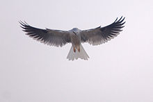 Birds galore over More Mesa, including the showy white-tailed kite.