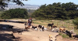 Dogs, dogs, everywhere at Fort Funston, where Commercial Dog Walking is permitted.