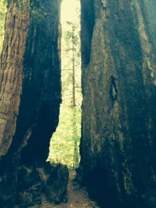 Fire scarred, but still thriving, this sequoia is one of the more unusual trees in the park's magnificent South Grove.