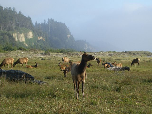 Roosevelt elk roam the bluffs above Gold Bluffs Beach in Prairie Creek Redwoods State Park. The California Coastal Trail at its most magnificent! (Photo SF Wolfman, wikimedia)