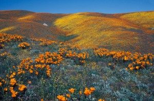 Pathways amidst the poppies in Antelope Valley California Poppy Reserve